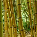 Jual Tumbuhan Bambu Jakarta Siap Tanam Harga Murah