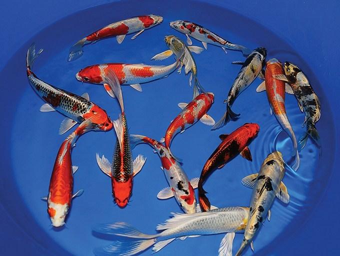 Ikan Koi Kualitas Bagus Siap Kirim