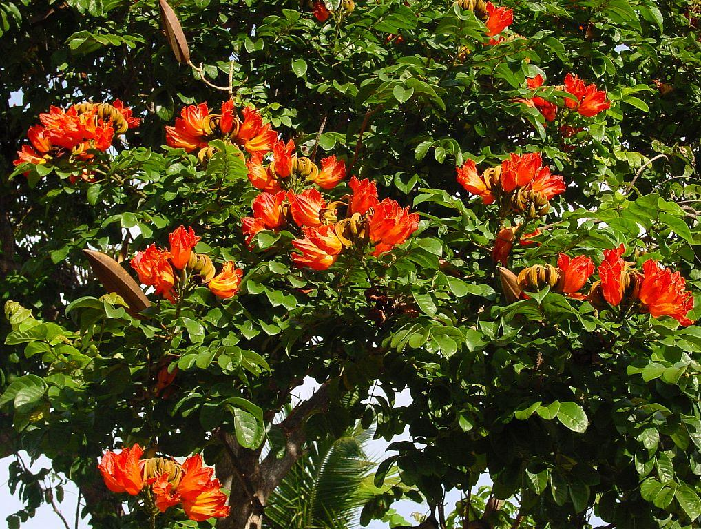 Jual Pohon Spathodea Campanulata Harga Murah