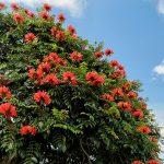 Harga Pohon Spathodea Campanulata Siap Tanam