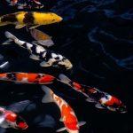 Teknik Budidaya Ikan Koi Hingga Pemijahan